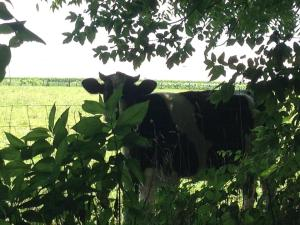 A curious bovine looks on