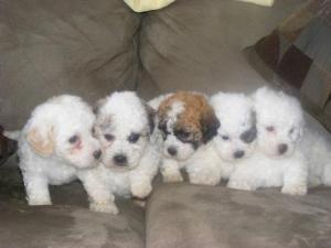 Bichon/Shih-Tzu  puppies